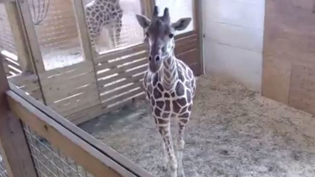 Animal park awaits birth of baby giraffe