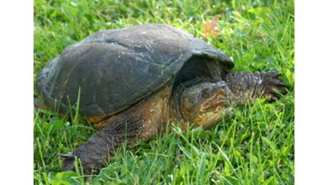 Drivers urged to watch for turtles during nesting season