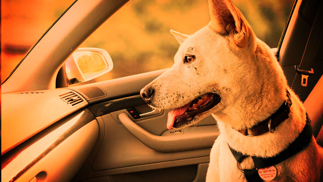 Keeping your pets safe in the heat